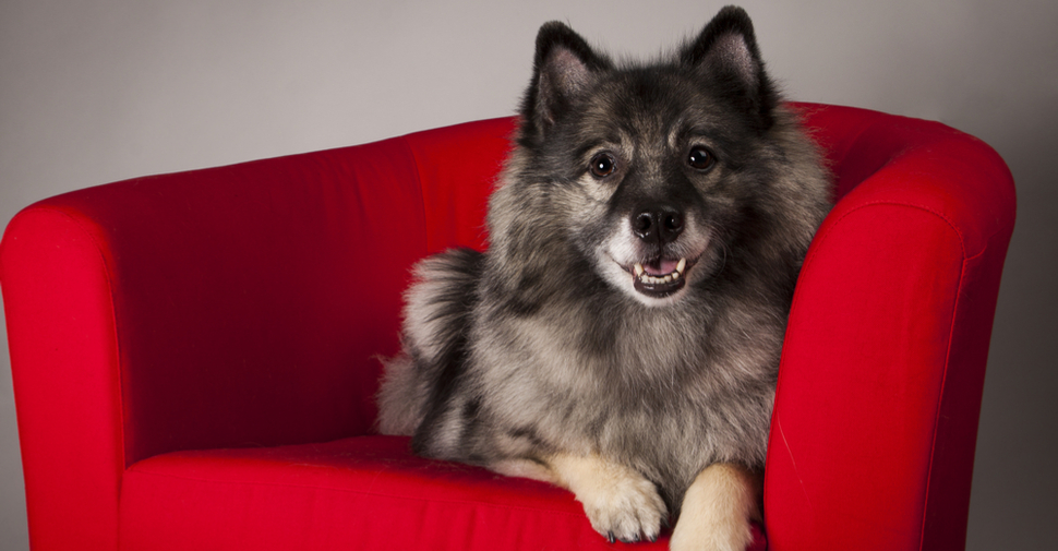 Happy Keeshond smiling while sitting on a red couch