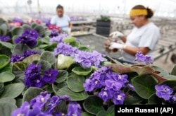 FILE: Workers check African violet plants before shipping in Nashville, TN. Holtkamp Greenhouses Inc. July 18,2007.