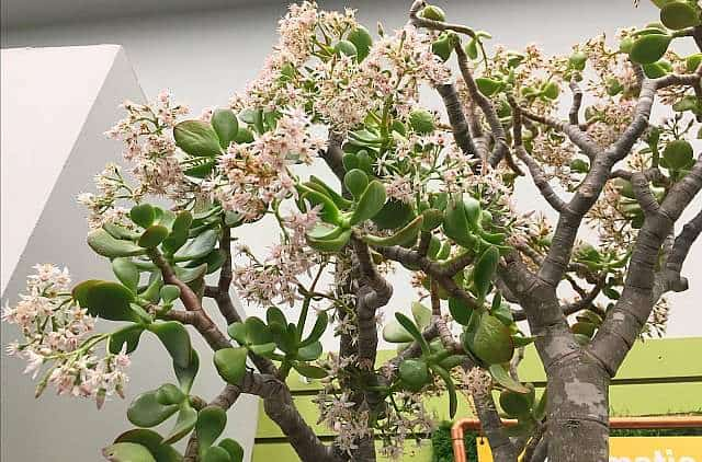Indoor jade succulents and flowers