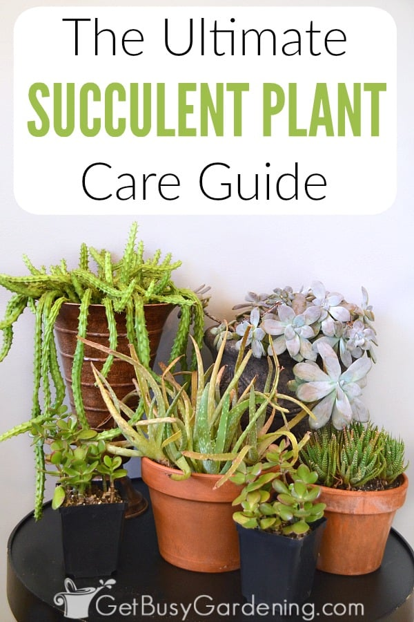 There are lots of different succulents that can easily be grown as houseplants. Learn everything you need to know about how to grow succulent plants indoors including proper watering, what type of soil to use, best lighting, containers, fertilizer, pruning, and much more in this ultimate succulent plant care guide!
