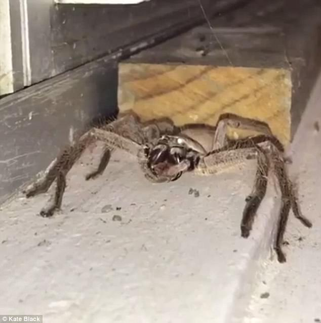 A woman was given the fright of her life when she spotted a huge huntsman spider cleaning its massive fangs on her windowsill