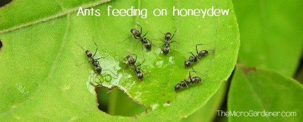 Ants in my Plants, Pots and Soil: Ants feeding on honeydew on a leaf
