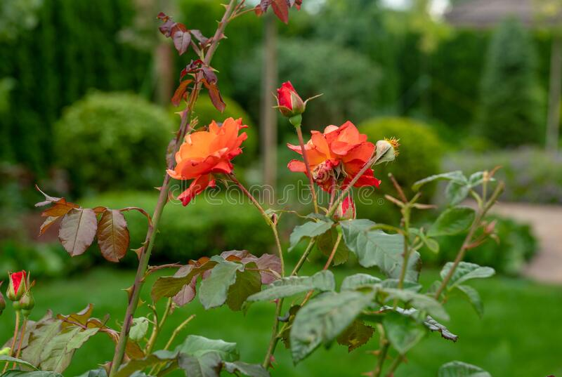Amazing roses in garden near russian dacha in `Belgian village` in Moscow oblast. Awe nature in summer in russia royalty free stock image