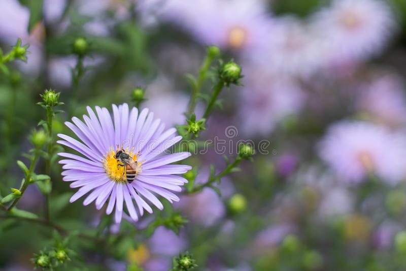 Bee on Symphyotrichum novae-angliae. stock image