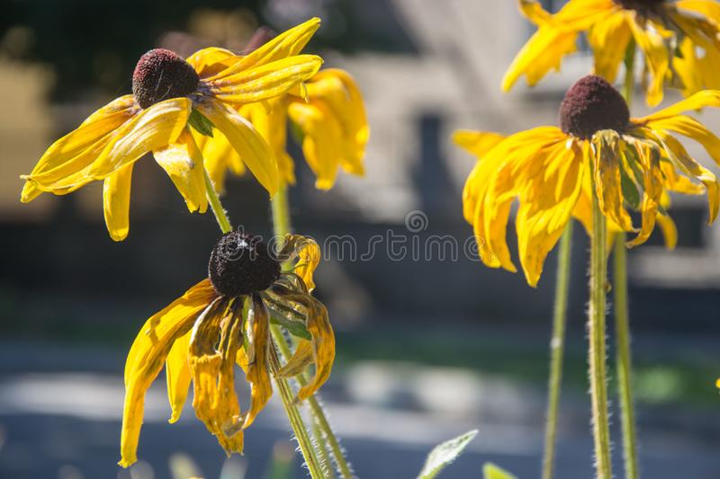 Black-Eyed Susan Rudbeckia Hirta yellow flowers with blurred background. Blooming fade, autumn flower bed, selective focus. Faded flowers, yellow colored black stock images