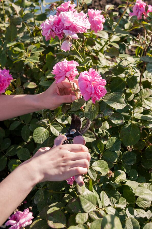Female hands cut pink roses at dacha with scissors. Summer day royalty free stock image