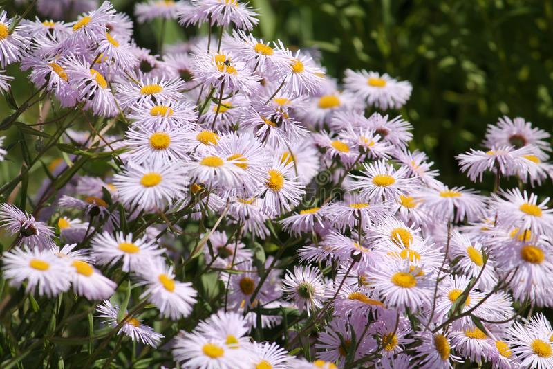 Flowers of Symphyotrichum novae-angliae syn. Aster novae-angliae or New England aster stock photo