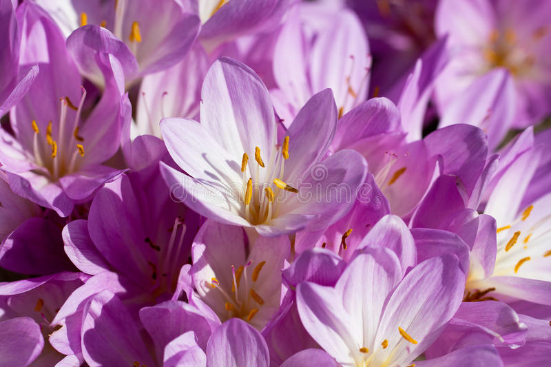 Lilac autumn crocus flowers blooming in the garden.  stock images