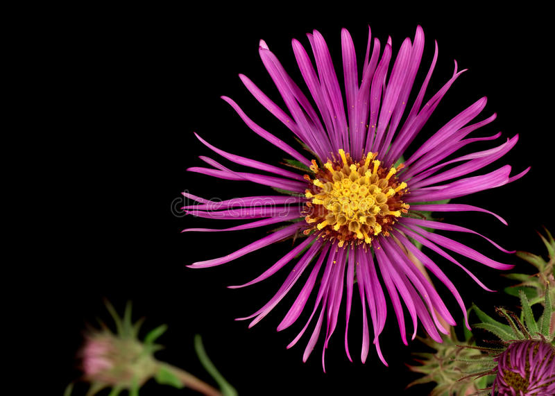 New England Aster (Symphyotrichum novae-angliae) royalty free stock image