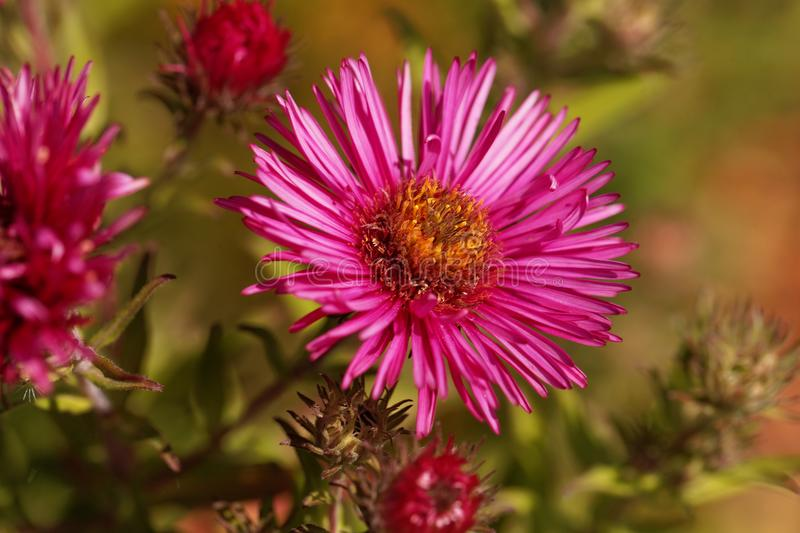 New England aster Symphyotrichum novae angliae stock images