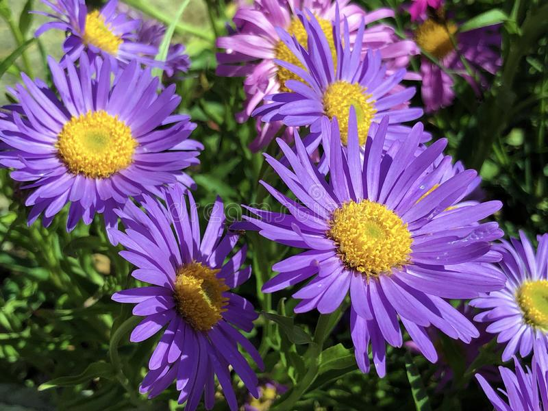 The New England aster Symphyotrichum novae-angliae or formerly Aster novae-angliae, Hairy Michaelmas-daisy, Die Raublatt-Aster royalty free stock photography