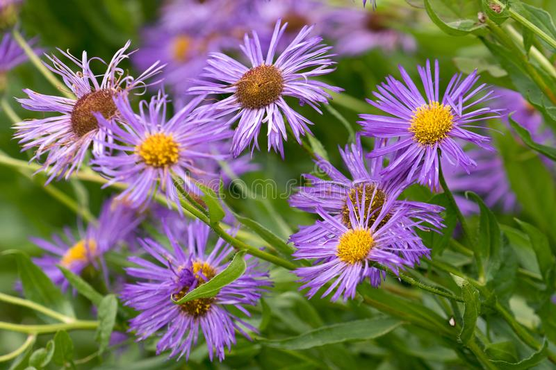 New England aster symphyotrichum novae-angliae stock images