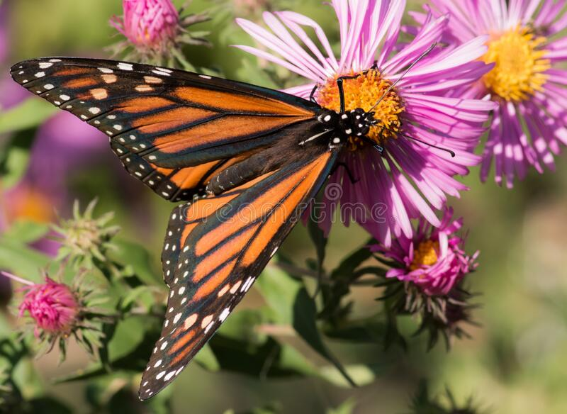 Monarch on Pink New England Aster Flower stock image
