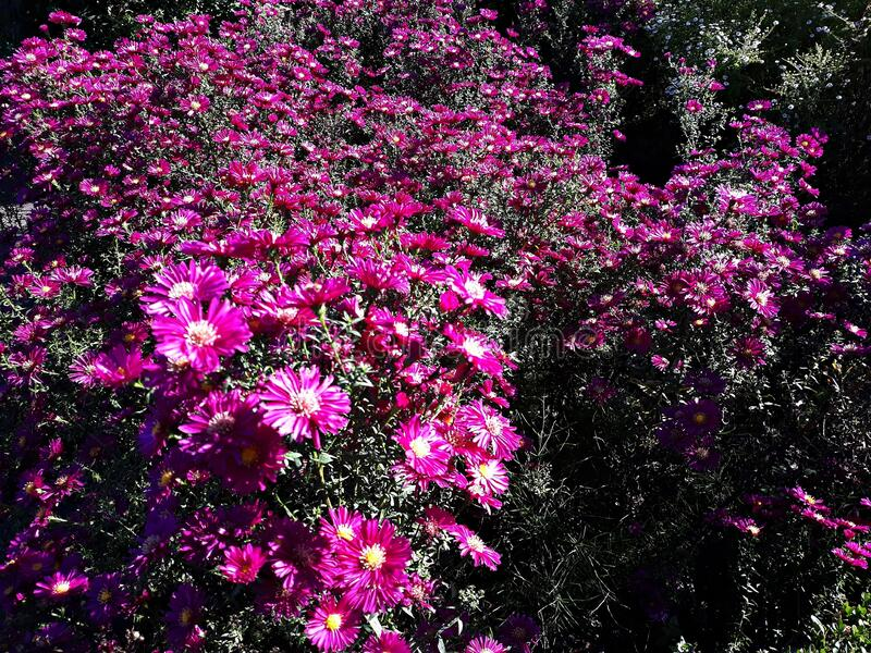 Pink flowers of Symphyotrichum novae-angliae. royalty free stock photo