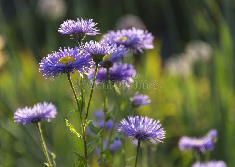 Symphyotrichum novae-angliae Michaelmas chamomile in bloom, autumn decorative herbaceous perennial stock photos