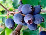 Какие бывают кусты с ягодами: Ягодные кустарники: названия, фото, выращивание