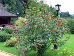 Кусты для дачи ягодные: Неприхотливые ягодные кустарники для дачи: сорта, посадка, уход