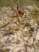 Растение которое использовалось в металлургии: 2009 , 10   — Pandia.ru