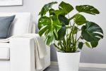 Растение с большими листьями: домашний цветок адиантум крупнолистный, нецветущие и другие виды